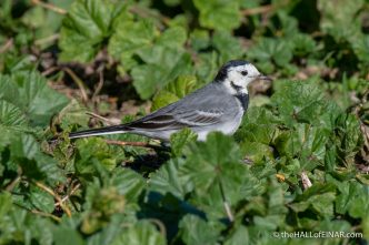 White Wagtail - Caffarella - The Hall of Einar - photograph (c) David Bailey (not the)