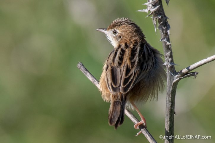 Zitting Cisticola - Caffarella - The Hall of Einar - photograph (c) David Bailey (not the)