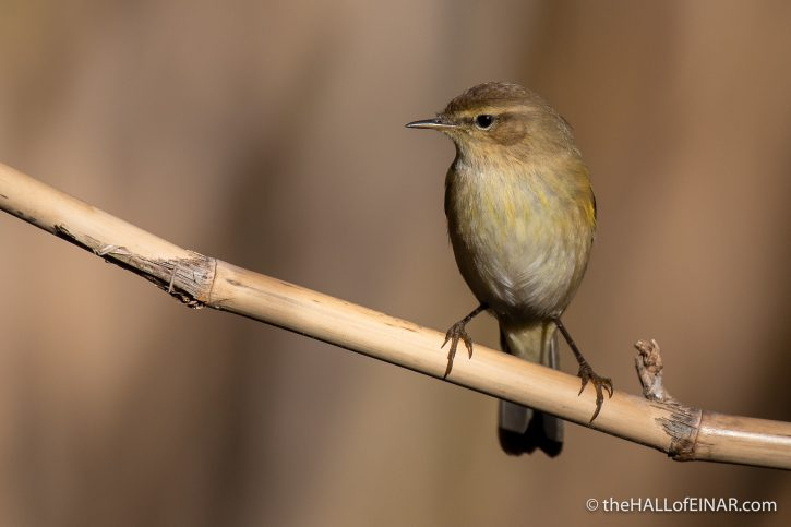 Chiffchaff - Caffarella - The Hall of Einar - photograph (c) David Bailey (not the)