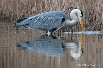 Grey Heron - Lago di Alviano - The Hall of Einar - photograph (c) David Bailey (not the)