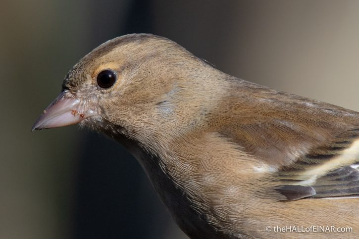 Chaffinch - Stover - The Hall of Einar - photograph (c) David Bailey (not the)
