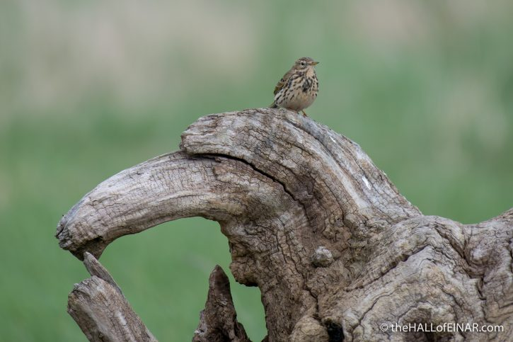 Meadow Pipit - Aust - The Hall of Einar - photograph (c) David Bailey (not the)