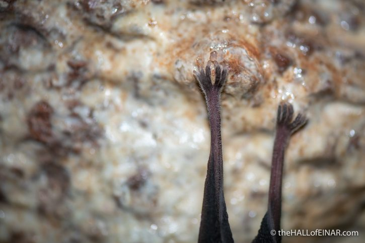 Greater Horseshoe Bat - The Hall of Einar - photograph (c) David Bailey (not the)