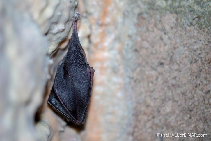 Lesser Horseshoe Bat - The Hall of Einar - photograph (c) David Bailey (not the)