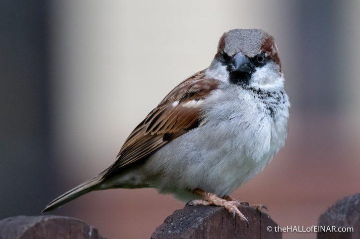 House Sparrow - Lodmoor - The Hall of Einar - photograph (c) David Bailey (not the)