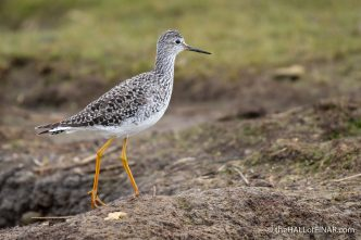 Lesser Yellowlegs - Lodmoor - The Hall of Einar - photograph (c) David Bailey (not the)