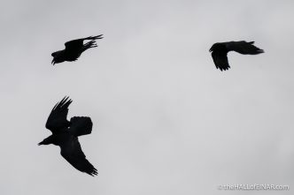 Raven - Lodmoor - The Hall of Einar - photograph (c) David Bailey (not the)