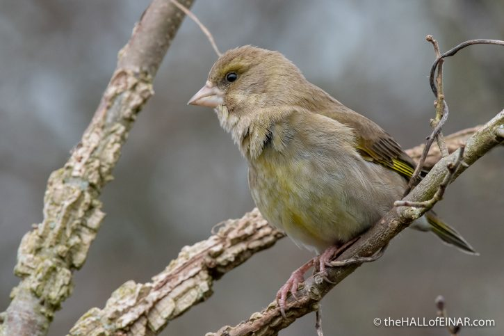 Greenfinch - Seaton - The Hall of Einar - photograph (c) David Bailey (not the)