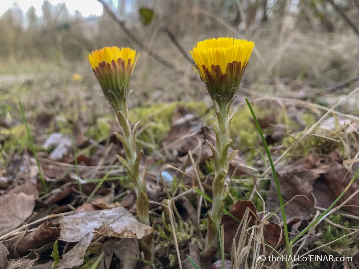 Coltsfoot - Whisby - The Hall of Einar - photograph (c) David Bailey (not the)
