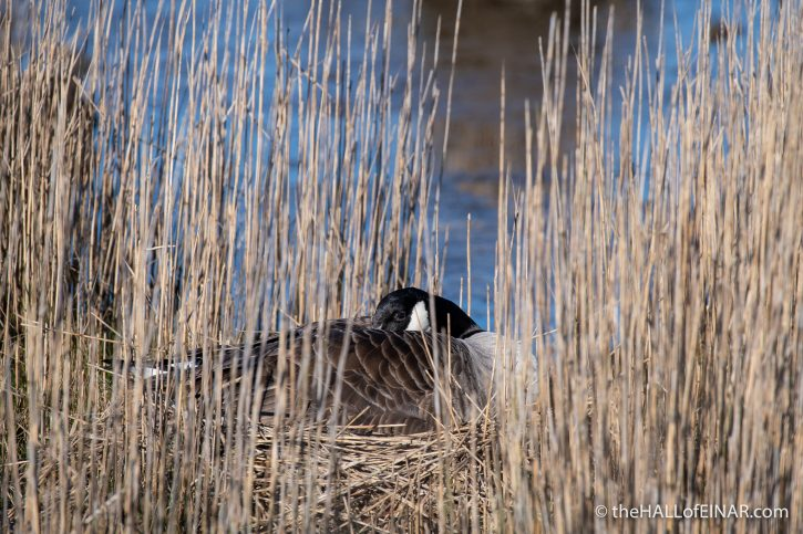 Canada Goose - Lodmoor - The Hall of Einar - photograph (c) David Bailey (not the)