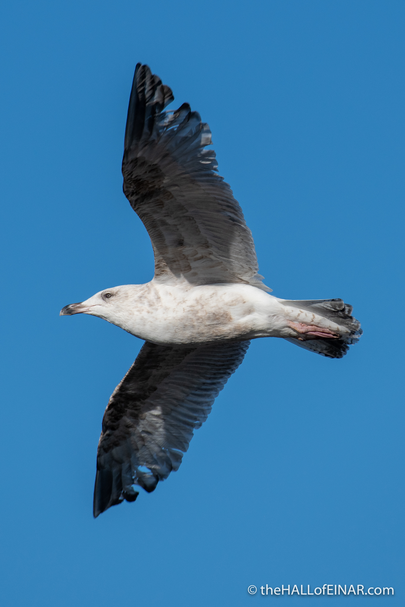 Herring Gull - Lodmoor - The Hall of Einar - photograph (c) David Bailey (not the)