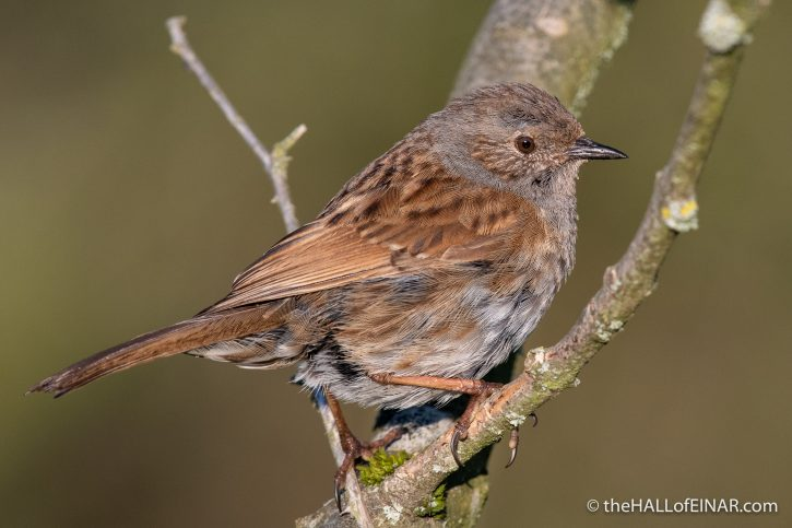 Dunnock - Crime Lake - The Hall of Einar - photograph (c) David Bailey (not the)