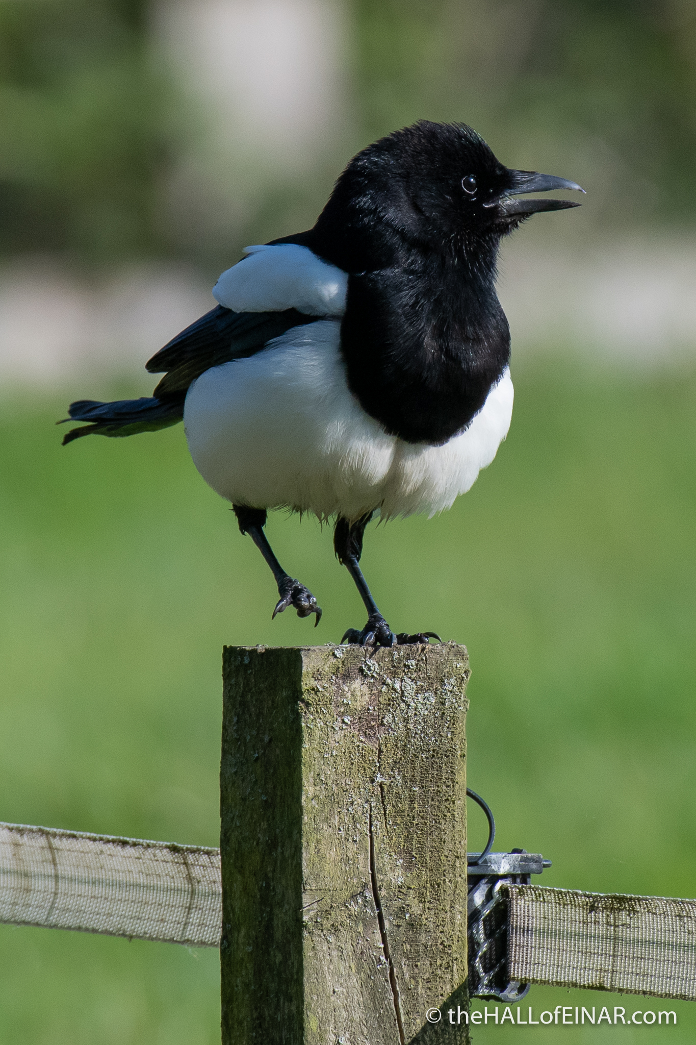 Magpie - Crime Lake - The Hall of Einar - photograph (c) David Bailey (not the)