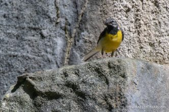 Grey Wagtail - Crime Lake - The Hall of Einar - photograph (c) David Bailey (not the)