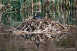 Coot - Crime Lake - The Hall of Einar - photograph (c) David Bailey (not the)