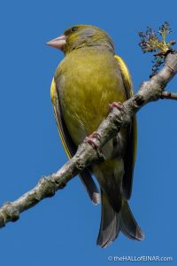 Greenfinch - Crime Lake - The Hall of Einar - photograph (c) David Bailey (not the)