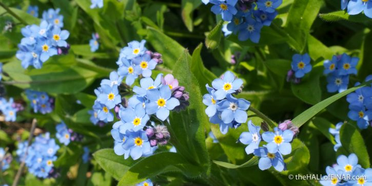Forget-Me-Not - The Hall of Einar - photograph (c) David Bailey