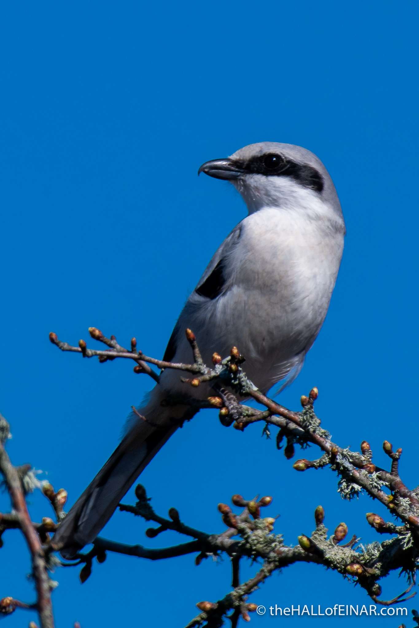 Great Grey Shrike - The Hall of Einar - photograph (c) David Bailey (not the)
