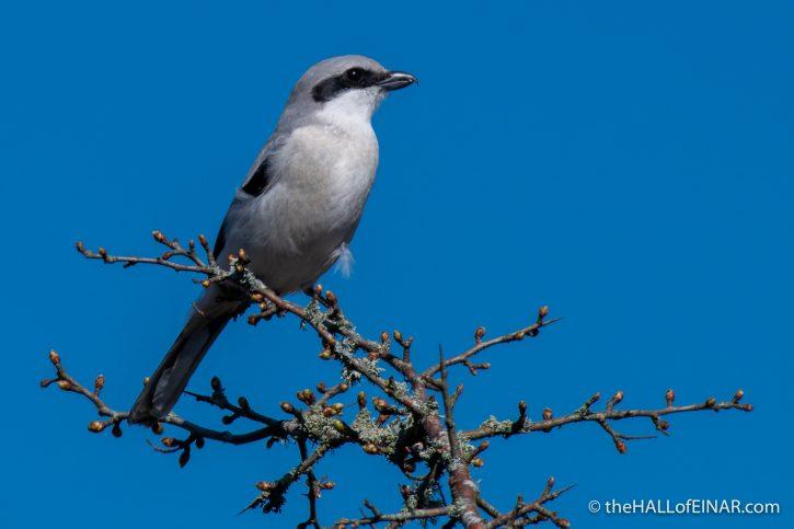 Great Grey Shrike - The Hall of Einar - photograph (c) David Bailey (not the)