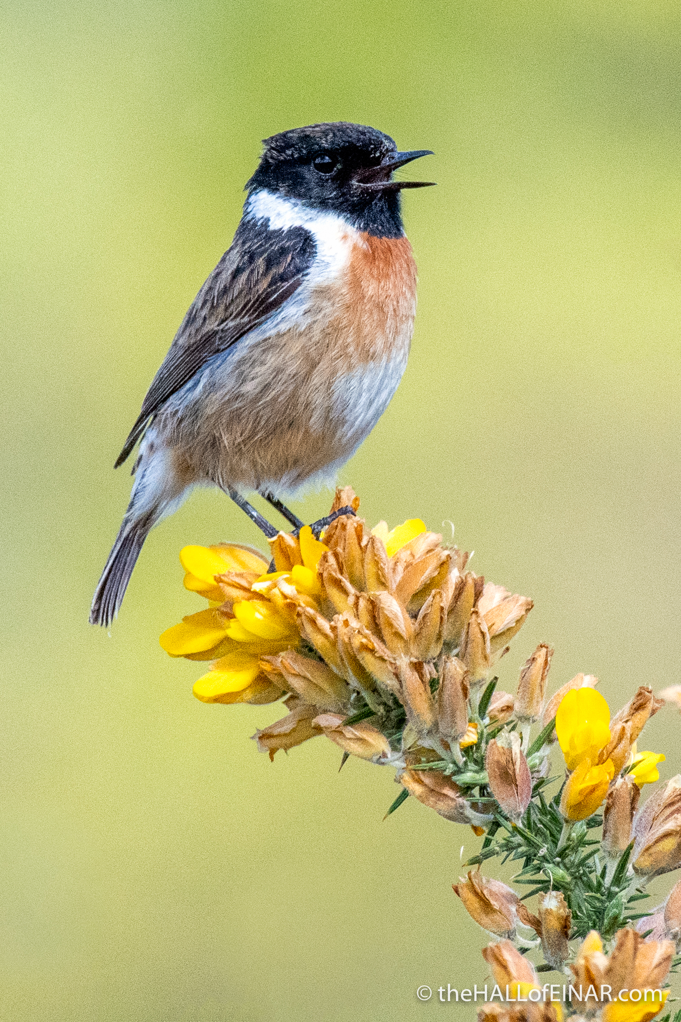 Stonechat - Trendlebere Down - The Hall of Einar - photograph (c) David Bailey (not the)