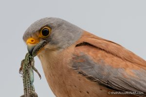 Lesser Kestrel - Matera - The Hall of Einar - photograph (c) David Bailey (not the)