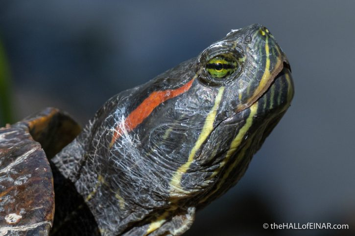 Red-Eared Slider - Villa Pamphilj - The Hall of Einar - photograph (c) David Bailey (not the)