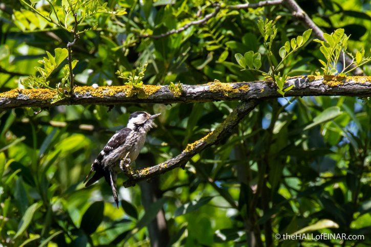 Lesser Spotted Woodpecker - Villa Pamphilj - The Hall of Einar - photograph (c) David Bailey (not the)