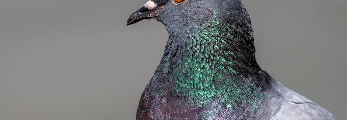 Feral Pigeon - Villa Pamphilj - The Hall of Einar - photograph (c) David Bailey (not the)