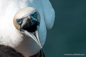 Gannet fighting at Bempton - The Hall of Einar - photograph (c) David Bailey (not the)