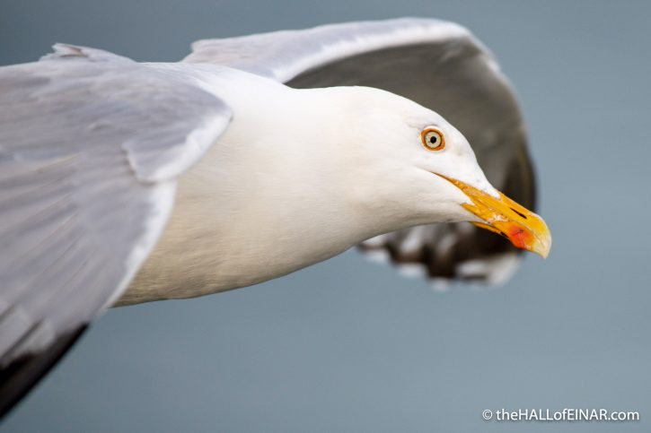 Herring Gull - Bempton - The Hall of Einar - photograph (c) David Bailey (not the)