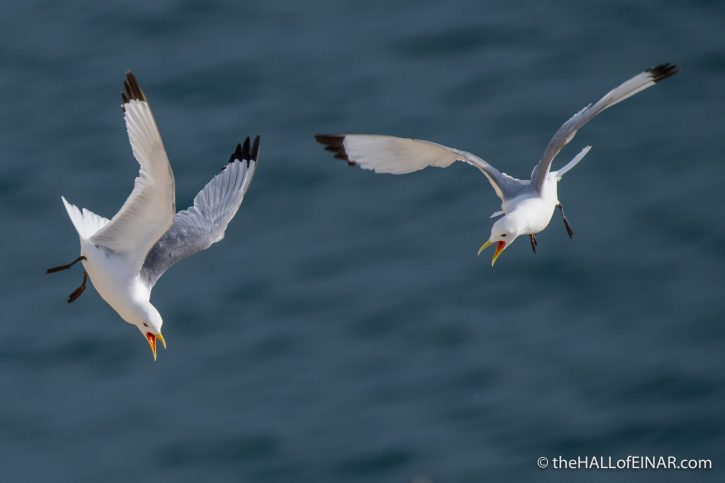 Kittiwakes fighting at Bempton - The Hall of Einar - photograph (c) David Bailey (not the)