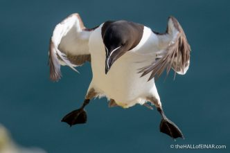 Razorbill - Bempton - The Hall of Einar - photograph (c) David Bailey (not the)
