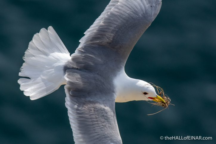 Kittiwake - Bempton - The Hall of Einar - photograph (c) David Bailey (not the)
