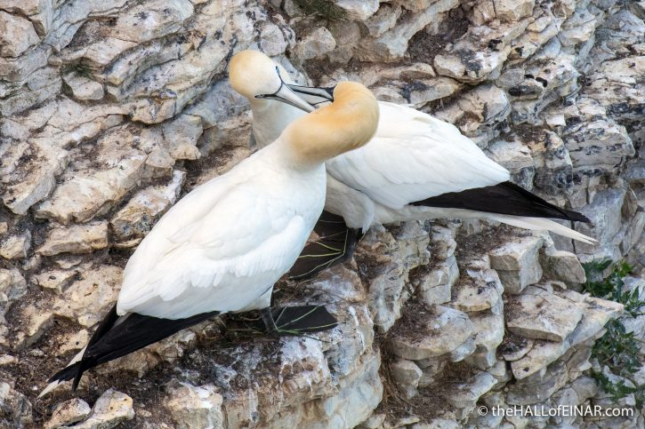 Gannets - Bempton - The Hall of Einar - photograph (c) David Bailey (not the)