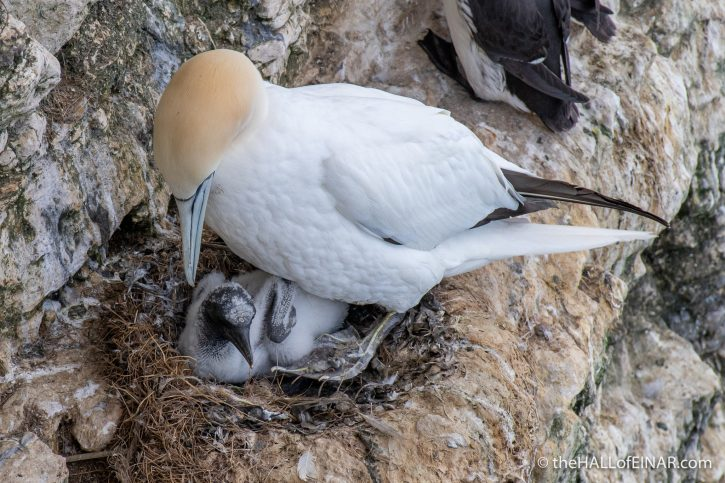 Gannet with chick - Bempton - The Hall of Einar - photograph (c) David Bailey (not the)