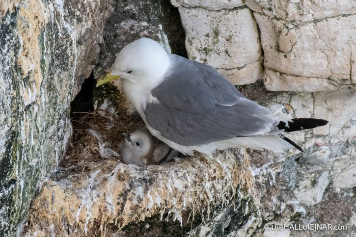 Kittiwake with chick - Bempton - The Hall of Einar - photograph (c) David Bailey (not the)