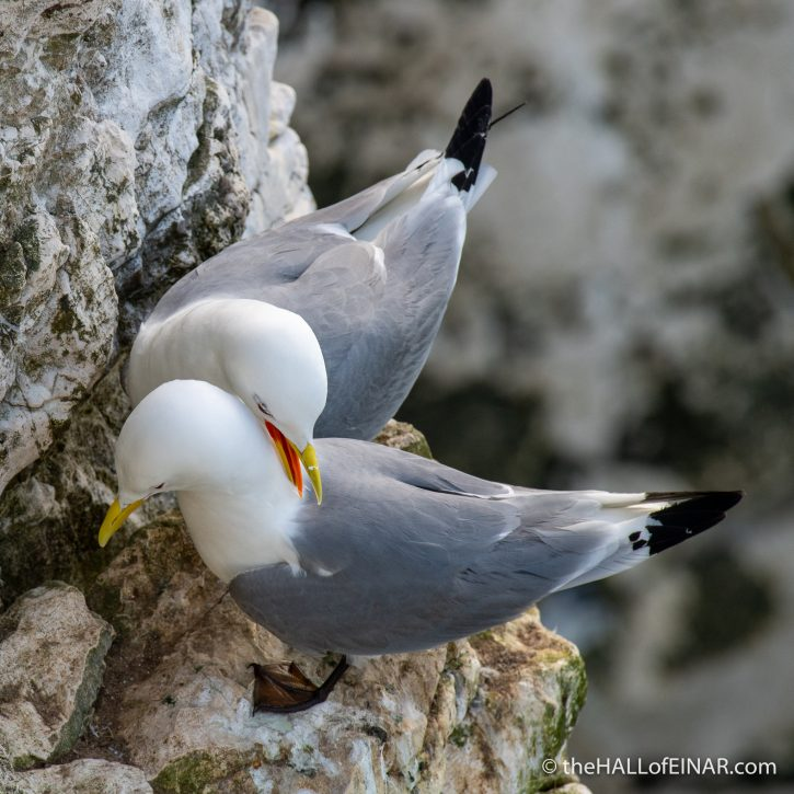 Kittiwakes - Bempton - The Hall of Einar - photograph (c) David Bailey (not the)