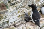 Razorbill with chick - Bempton - The Hall of Einar - photograph (c) David Bailey (not the)