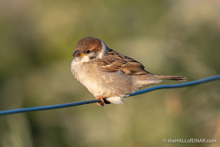 Tree Sparrow at Bempton - The Hall of Einar - photograph (c) David Bailey (not the)