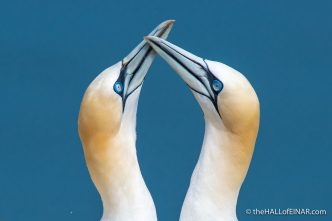 Displaying Gannets - Bempton - The Hall of Einar - photograph (c) David Bailey (not the)