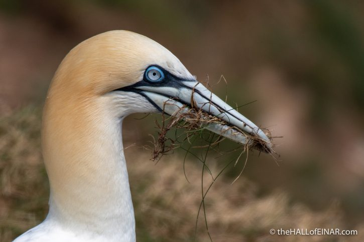 Gannet - Bempton - The Hall of Einar - photograph (c) David Bailey (not the)