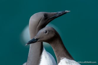 Guillemots - Bempton - The Hall of Einar - photograph (c) David Bailey (not the)