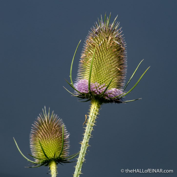 Teasel - Boys Hall Moat - photograph (c) David Bailey (not the)