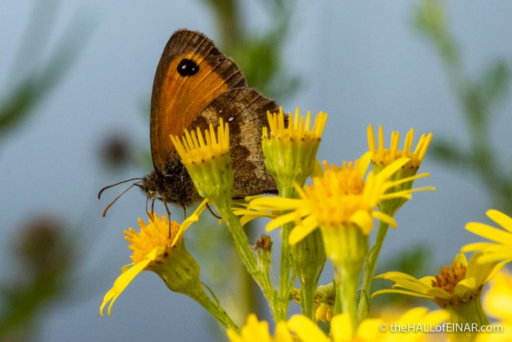 Gatekeeper Butterfly - Boys Hall Moat - photograph (c) David Bailey (not the)