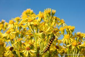 Cinnabar Moth - Boys Hall Moat - photograph (c) David Bailey (not the)