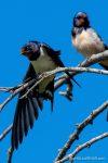 Swallows - Caffarella - The Hall of Einar - photograph (c) David Bailey (not the)