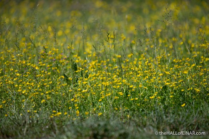 Buttercups - Caffarella - The Hall of Einar - photograph (c) David Bailey (not the)