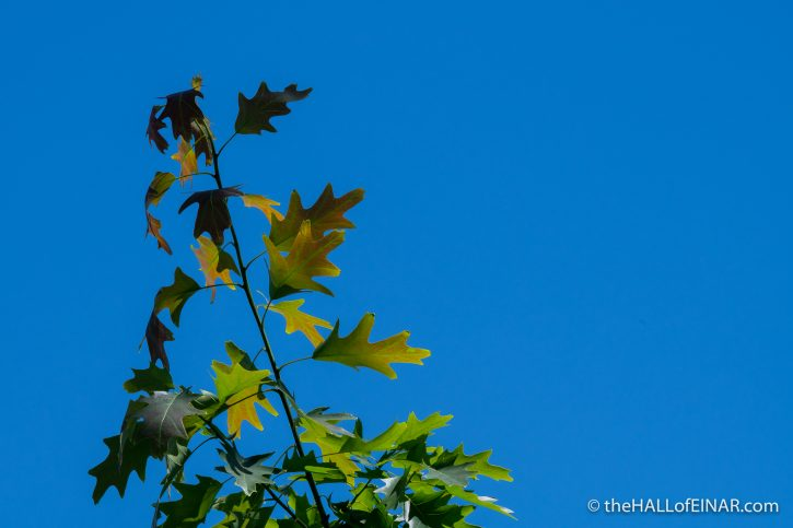 Tree Leaves - Caffarella - The Hall of Einar - photograph (c) David Bailey (not the)