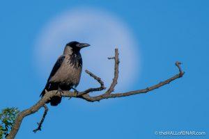 Hooded Crow - Caffarella - The Hall of Einar - photograph (c) David Bailey (not the)
