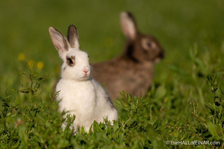 Rabbits in Caffarella - The Hall of Einar - photograph (c) David Bailey (not the)